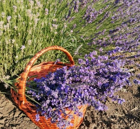 «Одна фотосесія на полі обійдеться в 300 гривень», — фермерка назвала найпопулярнішу рослину фото, ілюстрація