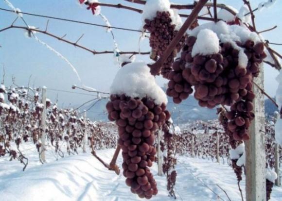 """Теплая зима лишила виноделов Германии урожая для """"ледяного вина"""" фото, иллюстрация"""