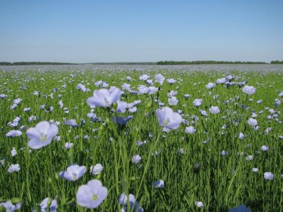 Grain Alliance будет выращивать семена льна фото, иллюстрация
