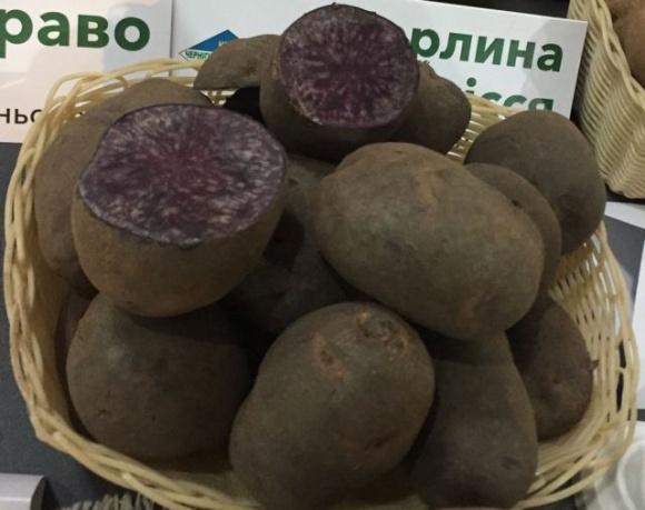Вітчизняні селекціонери вивели фіолетову картоплю Чорний либідь фото, ілюстрація