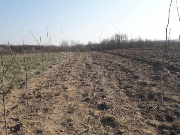 На Буковині закладено нові плантації горіхів фото, ілюстрація