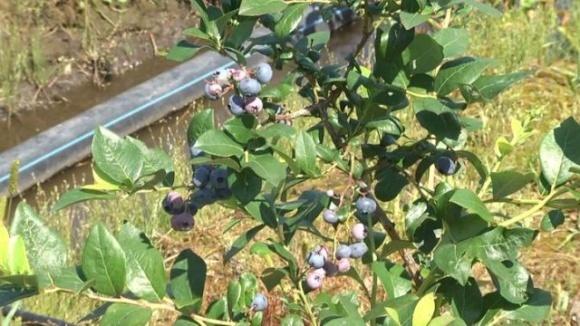 Бизнес после войны: во Львовской области участник АТО и волонтер высадили плантацию голубики фото, иллюстрация