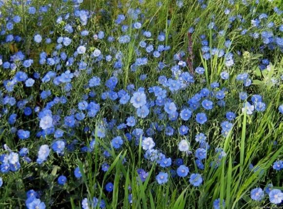 На Житомирщині за три роки збільшили посіви олійного льону в 10 разів фото, ілюстрація