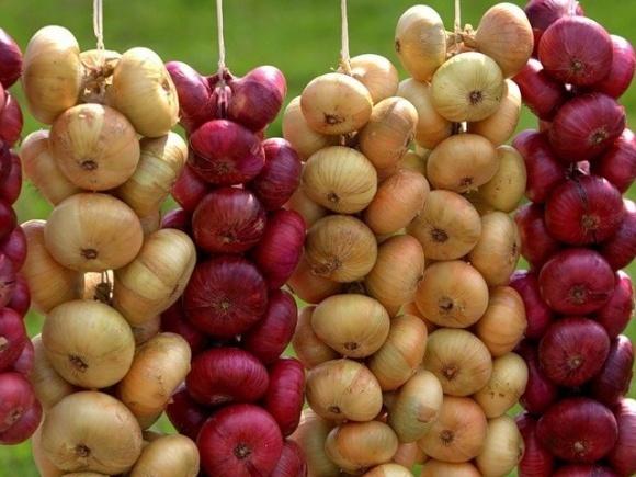 Неврожай цибулі в Польщі може стати небезпечним для ринку України фото, ілюстрація