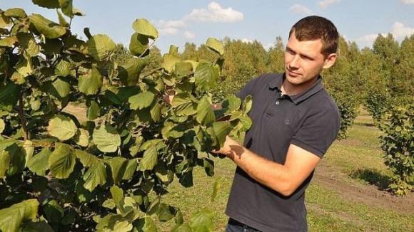 В Сарнах фермер выращивает фундук в промышленных масштабах фото, иллюстрация