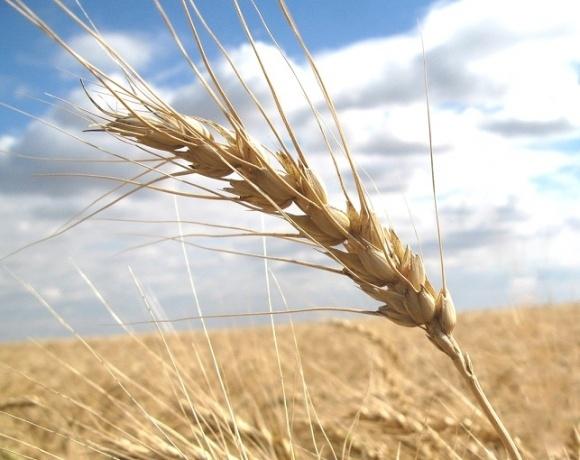Знайдено молекули, що відповідають за стресостійкість зернових фото, ілюстрація