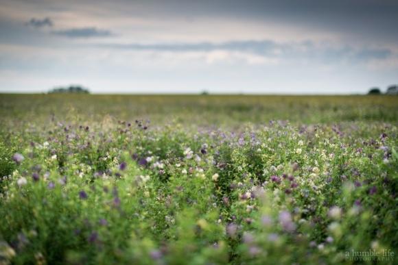 Агролайфхак: Як створити підприємство з вирощування люцерни фото, ілюстрація