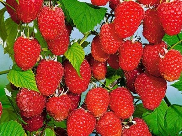 Садоводы южных областей Украины приступили к сбору урожая малины фото, иллюстрация