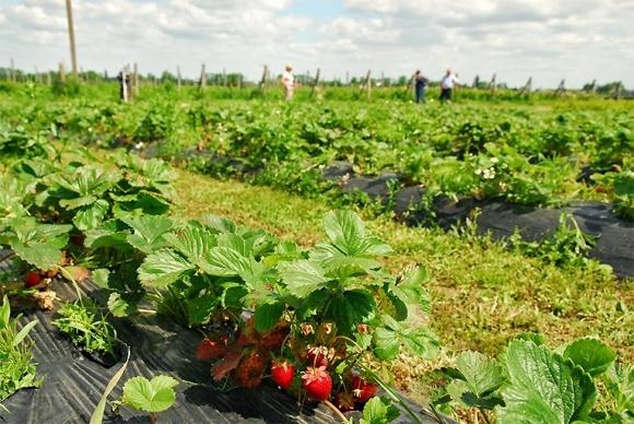 На Волыни предлагают развивать ягодный бизнес фото, иллюстрация
