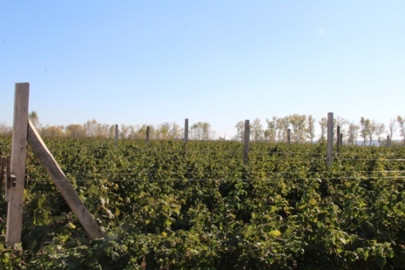 На Полтавщине высадили самый большой в стране органический малинник фото, иллюстрация