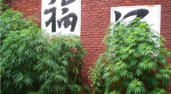 Китайские фермеры вместо льна начали выращивать марихуану фото, иллюстрация