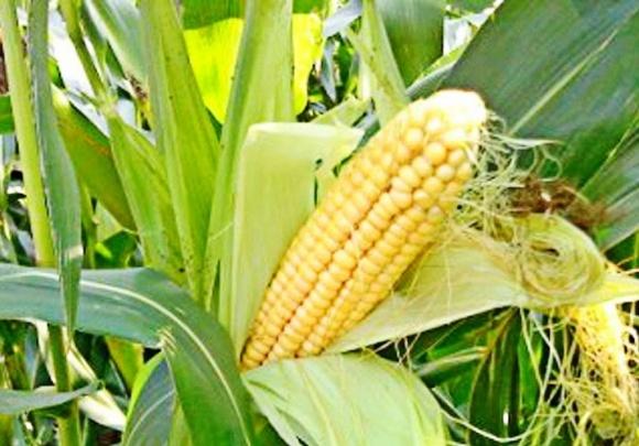Из-за высоких температур урожайность кукурузы может снизиться фото, иллюстрация