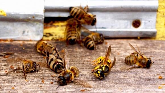 Массовая гибель пчел зафиксирована в трех областях Украины фото, иллюстрация