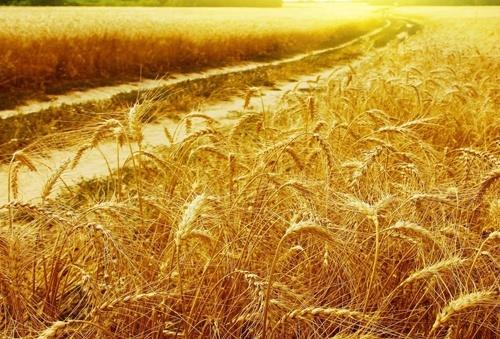 УЗА пропонує «прожарювати» пшеницю на борошномельних підприємствах Індонезії фото, ілюстрація
