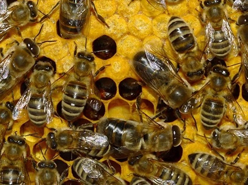 На Одещині загинули мільйони бджіл через отруту, якою фермер обробив поля ріпаку фото, ілюстрація