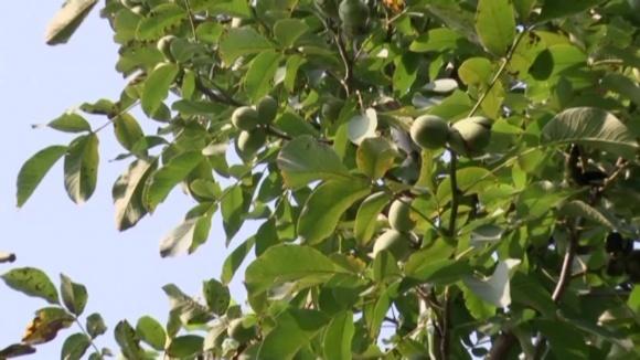 Ореховые сады в Украине опередили в три раза яблоневые фото, иллюстрация