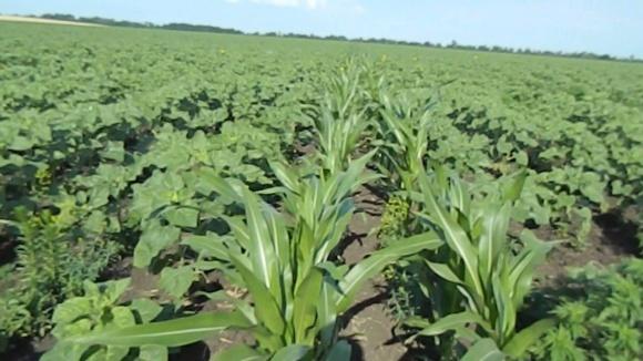 Выбор украинских фермеров: кукуруза или соя? фото, иллюстрация
