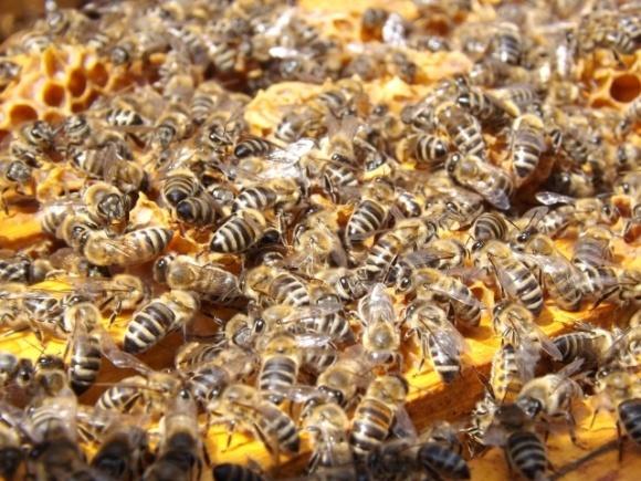Фермер у Польщі може сісти на 8 років за винищення 7,5 млн бджіл фото, ілюстрація