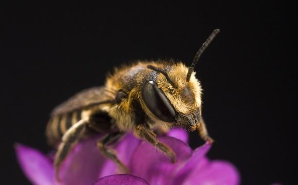 Дослідження виявило, що популярний інсектицид небезпечний для бджіл у будь-яких кількостях фото, ілюстрація