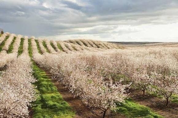 Из-за засухи в Калифорнии садоводы вырубают миндальные плантации фото, иллюстрация