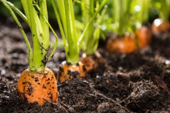 Через низькі ціни деякі господарства навіть не збирають моркву фото, ілюстрація