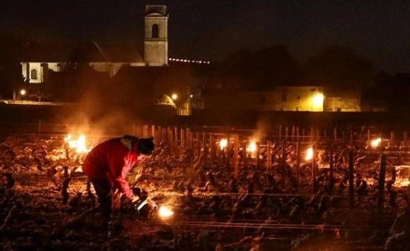 Заморозки спричинили катастрофу на виноградниках Франції і зашкодили садам фото, ілюстрація