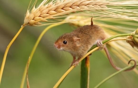 Будущий урожай в некоторых областях могут уничтожить мыши фото, иллюстрация