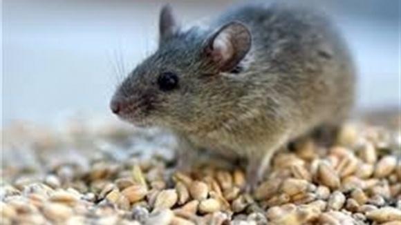 За інформацією радника міністра МВС у Чорткові «миші з'їли» 150 вагонів зерна фото, ілюстрація