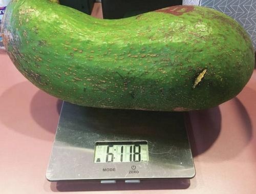 Гавайський фермер вирощує авокадо, розміром з немовля фото, ілюстрація