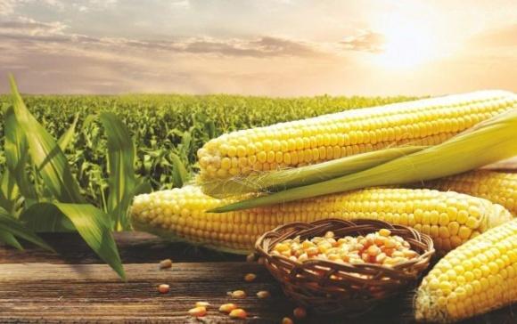 Україна увійшла до трійки лідерів у Європі за площею насінницьких посівів кукурудзи фото, ілюстрація