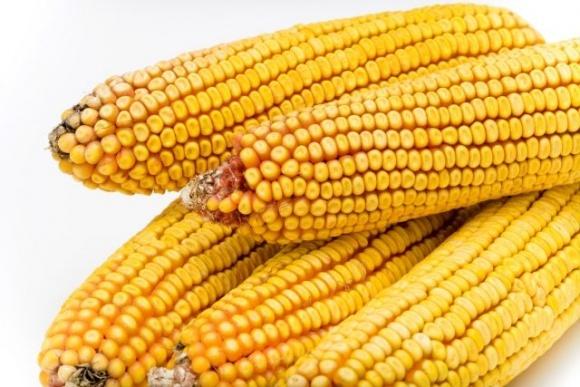 Производство зерновой, фуражной и семенной кукурузы в Европе фото, иллюстрация