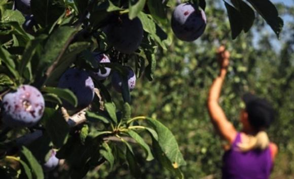 Найбільше нелегальних працівників виявили в сільському господарстві  фото, ілюстрація