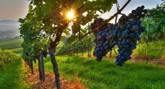 В Украине может появиться праздник виноградарей, виноделов и садоводов фото, иллюстрация