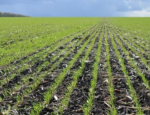 Розвиток рослин озимих зернових в Україні випереджає середньобагаторічні терміни, - НААН фото, ілюстрація