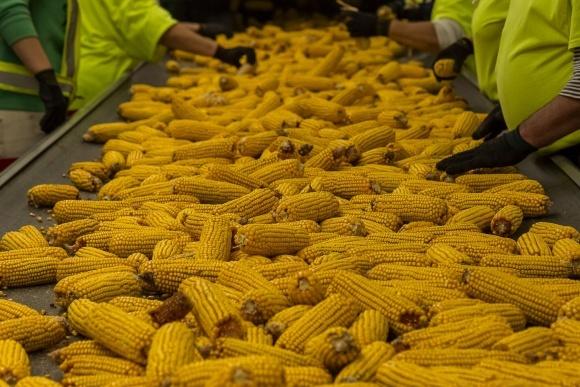 В 2019 році в Україні запрацює новий завод з переробки кукурудзи фото, ілюстрація