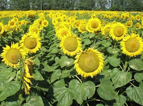 В Україні може зрости вартість соняшника фото, ілюстрація