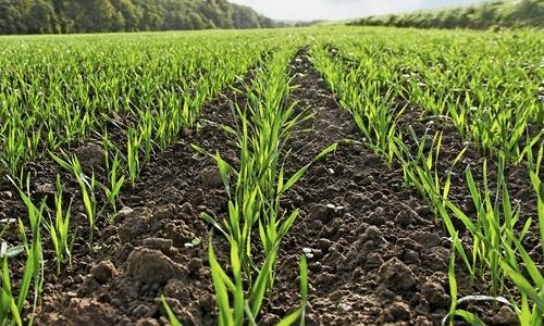 На початок березня стан озимини добрий, виживання рослин від 97%, - НААН фото, ілюстрація