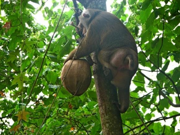 В Таиланде обезьян заставляли работать на фермах фото, иллюстрация