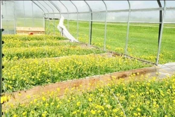 Вирощування кульбаб в теплицях на гідропоніці може бути прибутковим бізнесом  фото, ілюстрація