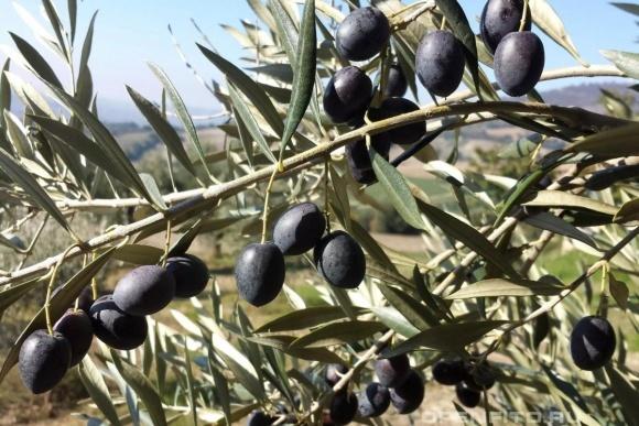 В Україні фермери трьох регіонів можуть вирощувати оливки фото, ілюстрація