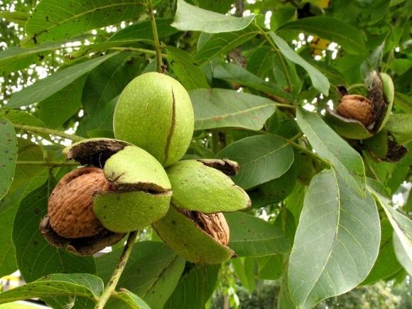 Саженцами ореха сегодня торгуют фактически бесконтрольно фото, иллюстрация