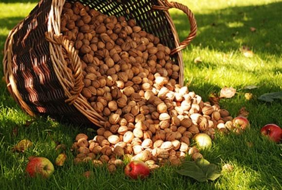 Урожай орехов из-за аномального похолодания не снизится фото, иллюстрация
