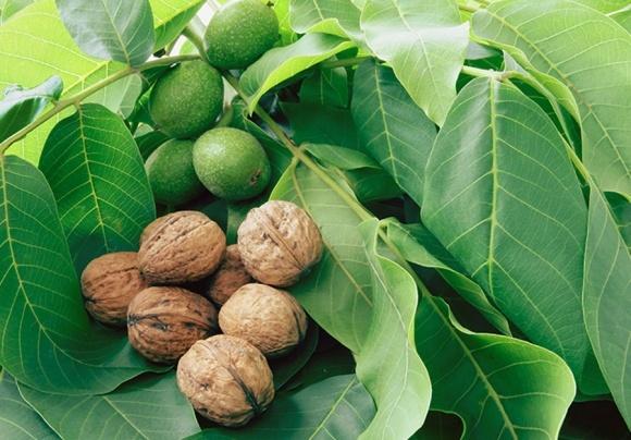 Три причини скорочення частки виробництва горіхів дрібних фермерів фото, ілюстрація