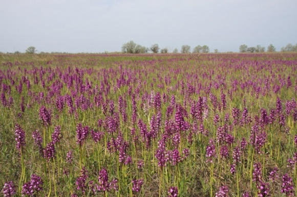 На Николаевщине расцвело крупнейшее в Европе поле диких орхидей фото, иллюстрация