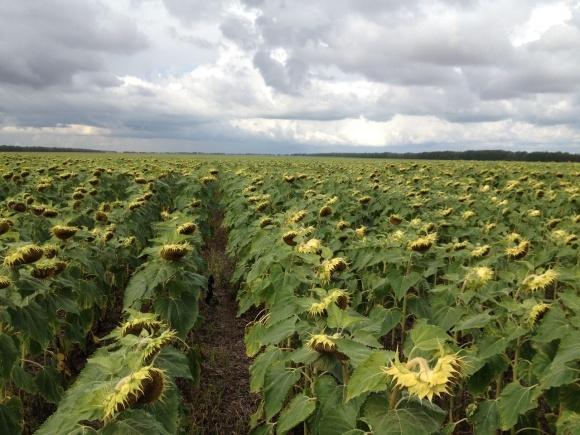 Погода способствует урожаю подсолнечника и кукурузы - Укргидрометцентр фото, иллюстрация