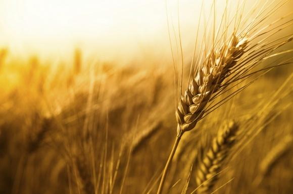 Єгипет хоче збільшити площі під пшеницею на 20% фото, ілюстрація