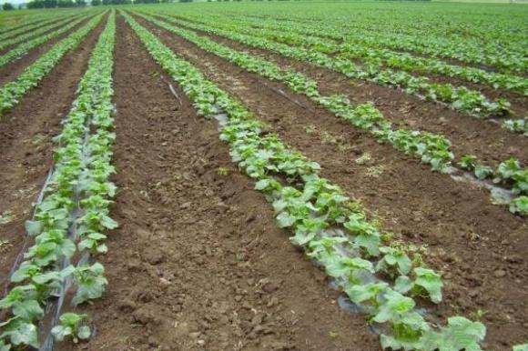 Аграрии переходят на подпочвенные системы капельного орошения фото, иллюстрация