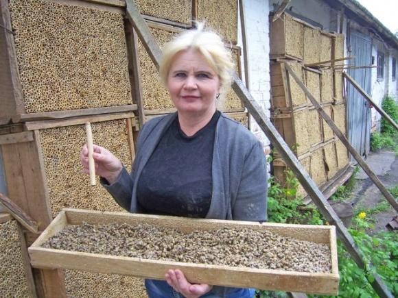 Для опыления садов в холодную погоду незаменимыми будут осмии, которых разводят на Полтавщине фото, иллюстрация