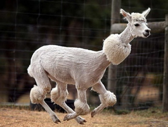 На овечьей шерсти можно заработать на 60% больше, - эксперты фото, иллюстрация