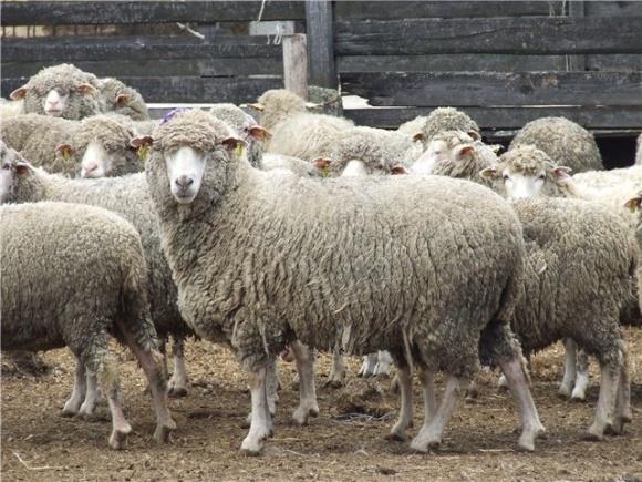 На Сумщине будут выводить овец фото, иллюстрация